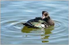 Muscovy (donbyatt) Tags: furztonlake miltonkeynes water birds wildfowl muscovy