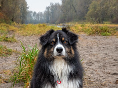 A River. He Runs To It (jayvan) Tags: troutdale oregon fall dash aussie australianshepherd dog beach river grass trees twtme