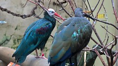 Happy Wing Wednesday! What did the Southern Bald Ibis say to the Hadada Ibis? (benlarhome) Tags: calgary alberta canada calgaryzoo ibis