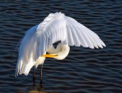 Egret (jimpillion) Tags: wildlife nature naturephotography photography huntingtonbeachstatepark stateparksouthcarolina southcarolina egret southcarolinastatepark wildlifephotography birds