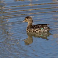 Female Green-winged Teal (Photoski141) Tags: female greenwingedteal anchorage alaska