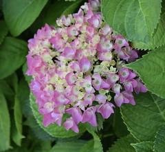 Hydrangea (MJ Harbey) Tags: hydrangea hortensia angiosperms eudicot asterid cornales france saintsimeon nikon d3300 nikond3300
