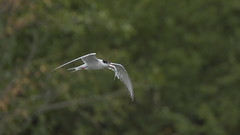 a tern with a fish (2/2) (Franck Zumella) Tags: bird wildlife tern sterne fish poisson fly flight flying voler green vert sky ciel fishing pecher white blanc animal
