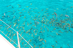 Sergeant fish and other coral fish aboard a sailing cruise yacht (Phuketian.S) Tags: fish feed feeding sergeant coralfish aboard sailing cruise yacht phuket racha thailand sea ocean vacation holiday luxury vip phuketyacht thailandyacht phuketian nature underwater