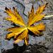 Lonely autumn leaf - Feuille d'automne solitaire
