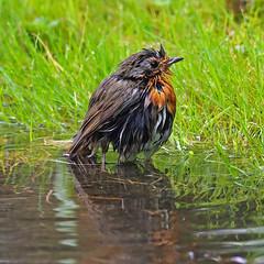 robin (DODO 1959) Tags: wildlife robin avian birds animal water outdoor nature fauna olympus omdem1mk2 300mmf4 micro43 wales carmarthenshire llanelli wwt