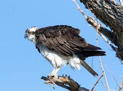 Osprey (Ed Sivon) Tags: america canon nature lasvegas wildlife western wild white southwest desert clarkcounty vegas flickr bird birdofprey henderson nevada