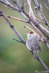 fauvette-9176 (gingkojac) Tags: 5èmemois animal oiseaux passereau fauvette femelle têtenoire ornithologie 365mois5day16