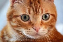 My beautiful Spritz ♥ (En memoria de Zarpazos, mi valiente y mimoso tigre) Tags: closeup bigeyes greeneyes portraitcat facecat ginger orange tabby pinknose cat redcat gato gatonaranja gatto rosso arancione micio roux spritz spritzeddu mycat ilovemycat nikon beautiful