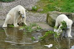 Akiak - Noria - Sizzel - Eisbären - Zoo Rotock (ElaNuernberg) Tags: eisbärnoria eisbärakiak eisbärsizzel zoorostock zoo zootiere zooanimals eisbär polarbear ijsbeer isbjorn niedźwiedźpolarny orsopolare ourspolaire jääkaru ursusmaritimus