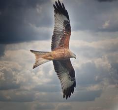 Red Kite 1S9A4542 (saundersfay) Tags: redkite predator bird raptor stormy raining