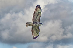 Buzzard 1S9A4663 (saundersfay) Tags: buzzard raptor predator flying birdo