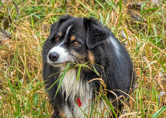 Non-GMO Snacks (jayvan) Tags: troutdale oregon fall dash grass snacking aussie australianshepherd dog river twtme colorful