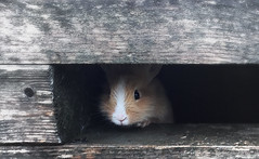 Curiosity... (Fiorenzo Delegà) Tags: rabbit coniglio cucciolo puppy simplysuperb