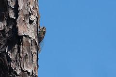 Cicada (SReed99342) Tags: florida jacksonville cicada pine bark castawayisland park