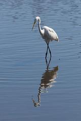 Egret (SReed99342) Tags: florida jacksonville egret bird castawayisland park