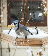 Blue Jay in a November Snowfall (mahar15) Tags: autumnsnow november snowfall wildlife bluejay nature birds outdoors jay snow