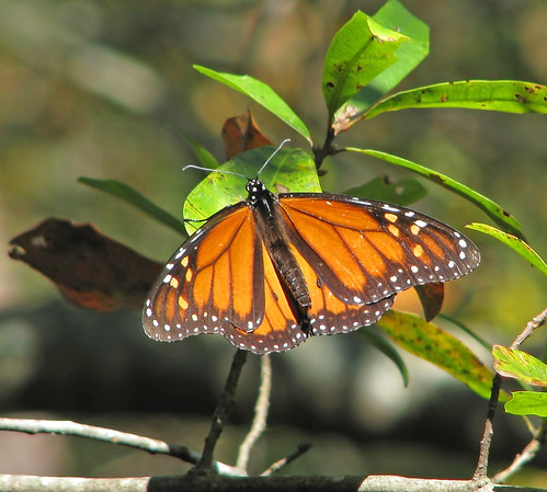 Monarch!!  ... migrant this morning!