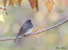 Junco ardoisé - Dark-eyed Junco (Lucie.Pepin1) Tags: oiseaux birds junco nature wildlife faune fauna luciepepin canon7dmarkii canon300mml o