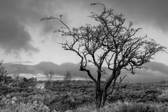 MoorlandTree (Tony Tooth) Tags: nikon d600 nikkor 50mm f18g tree moors moorland gunhill swythamley staffs staffordshire staffordshiremoorlands bw blackandwhite monochrome