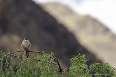 Morning in the Andes | Matin dans les Andes (shimmeringenergy) Tags: americankestrel crécerelledamérique falcosparverius andes peru pérou cusco cernícaloamericano