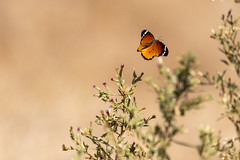Butterfly in flight (jamieford1) Tags: kruger southafrica flutter flowers wildlife animal insect flight flying butterfly