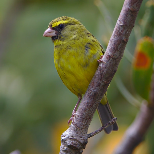 Forest canary, Crithagra scotops, male at Kirstenbosch