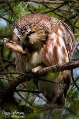 Northern Saw Whet Owl // Petite Nyctale (photo.dan.stevenson) Tags: hiboux rapace nyctale bird