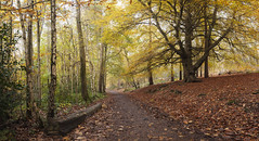 Autumn Walk (snomanda) Tags: park morning autumn tree nature rural forest landscape countryside woods footpath autumnal beech daybreak parkland light leaves yellow daylight track forestry country scenic trunk birch buchan birches