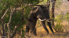 Safari Elephants (bdg-photography) Tags: elephant elephants animal animalphotography outside safari sunny sun nature naturephotography natural tree bush trees big mammal