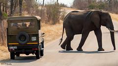 Safari Elephant (bdg-photography) Tags: elephant elephants animal animalphotography outside safari sunny sun road car nature naturephotography natural tree bush trees big mammal jeep 4x4