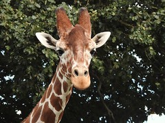 Giraffe (Simply Sharon !) Tags: giraffe animal yorkshirewildlifepark