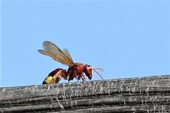 The Maltese Hornet (Roy Lowry) Tags: malta hornet stjulians orientalhornet vespaorientalis