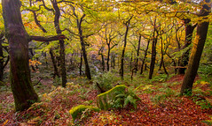 Change in the Forest (Nikhil Ramnarine) Tags: england peakdistrict derbyshire padleygorge autumn fall bronze yellow orange green ferns oak forest hiking travel nikon landscapephotography landscape nature