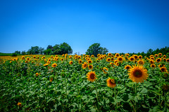 A lot of sunflowers (dannygreyton) Tags: sunflower flower flowers europe meadow nature france fujifilm fujifilmxseries
