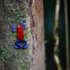 Strawberry Poison Dart Frog (blue jeans colour morph) (danglasspool) Tags: strawberrypoisondartfrog strawberry poison dart frog amphibian wildlife animal nature rainforest jungle arenal costarica nikon nikondslr nikond3300 d3300 explorerdan danglasspool photography wildlifephotography