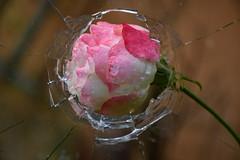 DSC_5992 (griecocathy) Tags: macro fleur rosier vitre brisée gouttelette eau blanc rose vert beige