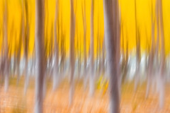 Painting the Fall (DavidFrutos) Tags: canondslr 5dmarkiv canon100400mm davidfrutosegea cieza murcia árbol tree chopo chopera álamo fall caída autumn otoño bosque forest paisaje nature naturaleza fineart pictórica pictorial pictorical pictioralismo pictioralism colorful yellow orange naranja amarillo
