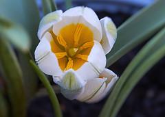 Crocus (sunbeem - Irene) Tags: crocus spring flowers corms corm lakedistrict saffron crocussativus shortfloweringperiod february plant bulb pretty colourful variety