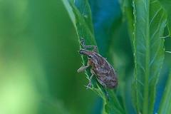 Ohaka-vagukärsakas (Cleonis pigra). (Imbi Vahuri) Tags: imbivahuri insecta putukad coleoptera mardikalised curculionidae kärsaklased estonia