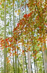 Japanese Maples amidst Bamboo (Lawrence OP) Tags: maple japanese japan arashiyama bamboogrove kyoto bamboo red green peace autumn
