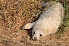 Grey Seal Pup (robin denton) Tags: greyseal seal pup donnanook lincolnshirewildlifetrust wildlifetrust nature wildlife animal eastcoast coast seashore shore dunes marramgrass halichoerusgrypus