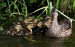 Ten Gadwall Ducklings (Ger Bosma) Tags: 2mg293874filtered krakeend anasstrepera gadwall schnatterente ánadefriso canardchipeau canapiglia ducklings