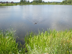 Duck with little ducklings on the lake (staticterminal) Tags: lakes water summer road daugavpils latvia