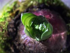 I have a simple taste, only the best. Oscar Wilde (genevieve van doren) Tags: hyacinth flower fleur plant plante