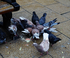 Pigeon scrum (Allan Rostron) Tags: