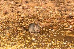 Muis (Ralph Apeldoorn) Tags: mammal mouse muis vlindertuin vlindorado waarland noordholland nederland