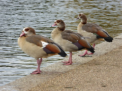 Three (ExeDave) Tags: p1220012 egyptian goose alopochen aegyptiaca round pond kensington gardens westminster london se england gb uk bird geese wildfowl waterfowl introduced introduction established nature wildlife wetland urban city centre october 2019