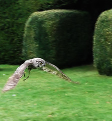 Low Flying Owl, St. Cross, 28.09.19 (catrionatv) Tags: winchester stcross stcrosschurch michealmasfair grass lawn hedge avian bird greathornedowl falconhigh owl lowflyingowl