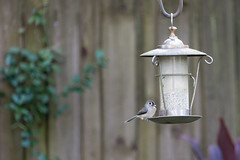 Tufted Titmouse (SReed99342) Tags: florida jacksonville titmouse feeder bird